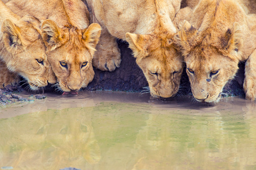 Big Cat「Pride of lions drinking at a waterhole.」:スマホ壁紙(13)