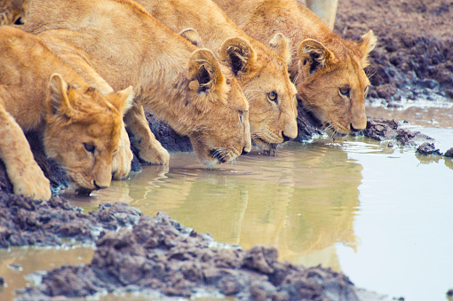 Crouching「Pride of lions drinking at a waterhole.」:スマホ壁紙(14)