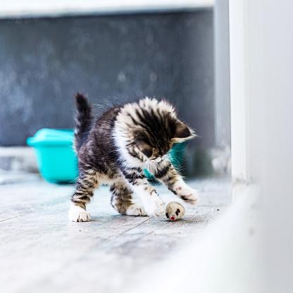 Litter Box「Little Siberian Breed Cat Playing」:スマホ壁紙(16)