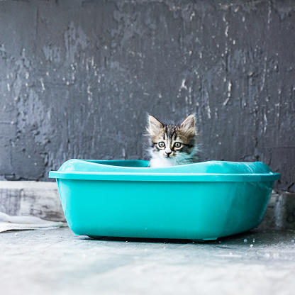 Animal Whisker「Little Siberian Breed Cat Sitting in Litter Box」:スマホ壁紙(1)