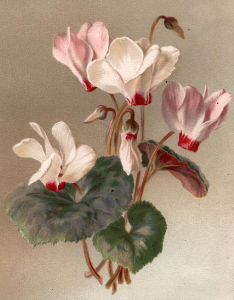 Botany「Cyclamen」:写真・画像(7)[壁紙.com]