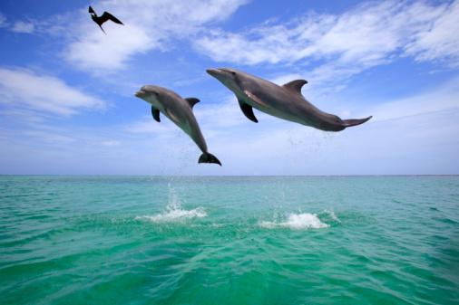 Bay Islands「 Delfin (Grosser Tuemmler)」:スマホ壁紙(15)