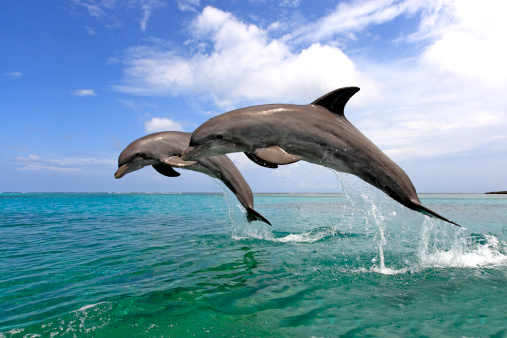 Bay Islands「 Delfin (Grosser Tuemmler)」:スマホ壁紙(17)