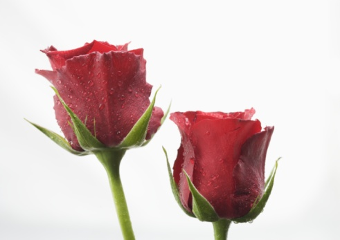 薔薇「Two red roses」:スマホ壁紙(16)