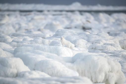 Arctic Fox「Arctic fox (Vulpes lagopus) walking through the ice chunks on Hudson Bay」:スマホ壁紙(14)