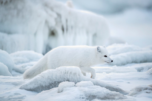 Arctic Fox「Arctic fox (Vulpes lagopus) walking through the ice chunks on Hudson Bay」:スマホ壁紙(19)
