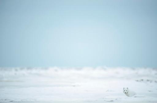 Arctic Fox「Arctic fox (Vulpes lagopus) in the snow on the coast of Hudson Bay」:スマホ壁紙(9)
