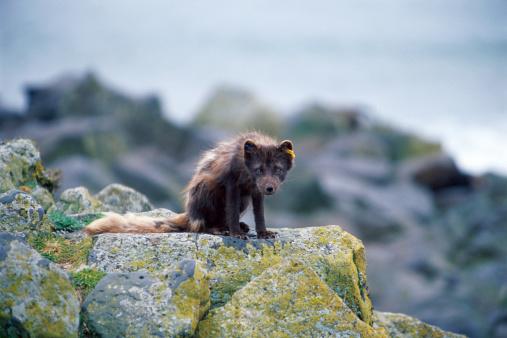 Arctic Fox「Arctic fox (Alopex lagopus) with tagged ear on rock」:スマホ壁紙(0)