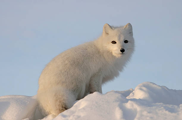 Arctic fox looks into the distance .:スマホ壁紙(壁紙.com)