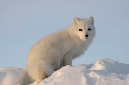 Snowdrift「Arctic fox looks into the distance .」:スマホ壁紙(16)