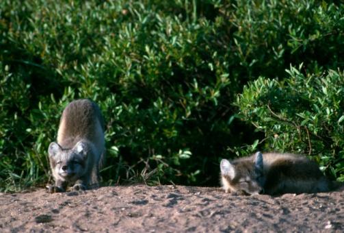 Arctic Fox「Arctic fox cubs near den site. Hudson Bay, Canada」:スマホ壁紙(7)