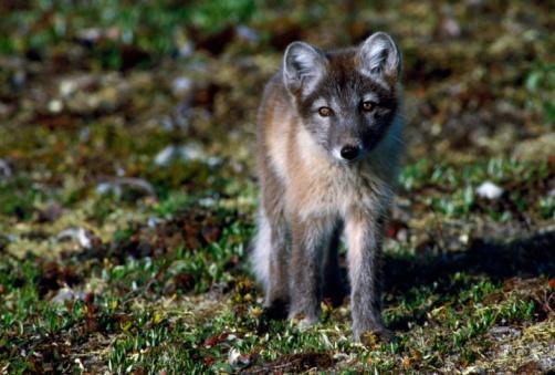 Arctic Fox「Arctic fox cubs near den site. Hudson Bay, Canada」:スマホ壁紙(10)