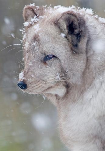 Arctic Fox「Arctic fox Alopex lagopus, Adult Fox in Snowfall (captive) Highland Wildlife Park」:スマホ壁紙(16)
