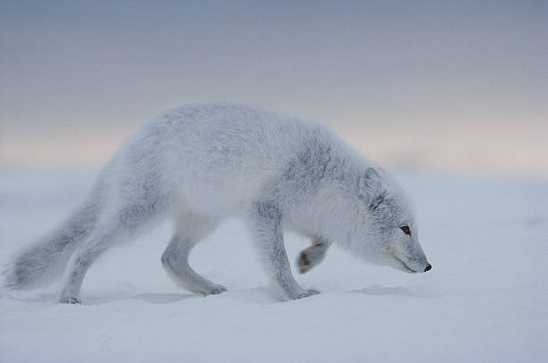 Arctic fox trudges through the snow. Alopex lagopus. Hudson Bay, Canada.:スマホ壁紙(壁紙.com)