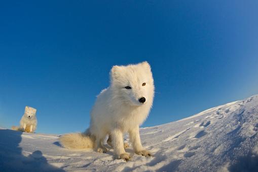 Arctic Fox「Arctic fox sitting in the snow.」:スマホ壁紙(11)