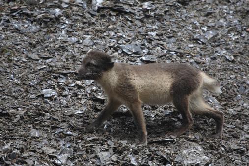 Arctic Fox「Arctic Fox」:スマホ壁紙(19)