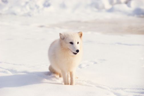 Arctic Fox「Arctic fox」:スマホ壁紙(13)