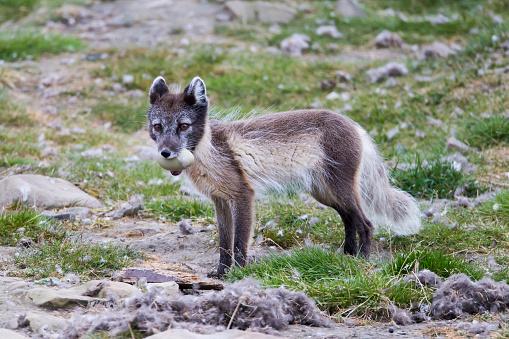 Arctic Fox「Arctic fox (Alopex lagopus) with eider duck egg, Longyearbyen, Svalbard, Norway」:スマホ壁紙(1)