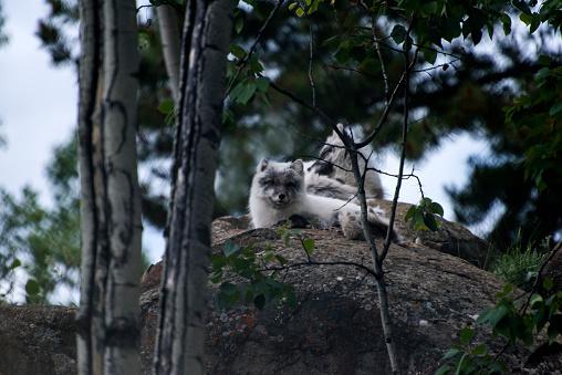 Arctic Fox「Arctic Fox」:スマホ壁紙(4)