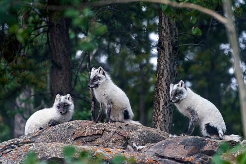 Arctic Fox「Arctic Fox」:スマホ壁紙(2)