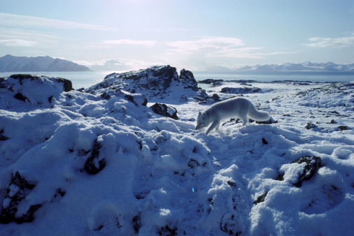 Arctic Fox「arctic fox alopex lagopus on snowy rocks svalbard」:スマホ壁紙(18)
