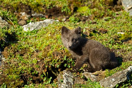 Arctic Fox「Arctic Fox, Svalbard, Norway」:スマホ壁紙(10)