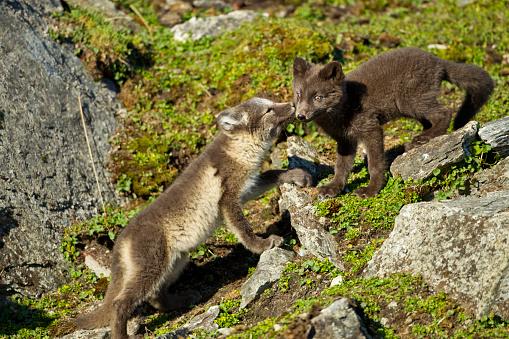 Arctic Fox「Arctic Fox, Svalbard, Norway」:スマホ壁紙(9)