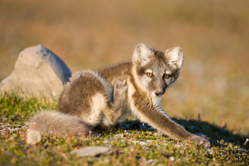 Arctic Fox「Arctic Fox, Svalbard, Norway」:スマホ壁紙(1)