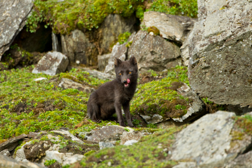 Arctic Fox「Arctic Fox, Svalbard, Norway」:スマホ壁紙(4)