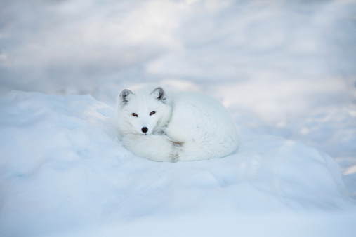 Winter Coat「Arctic fox resting in the snow」:スマホ壁紙(14)