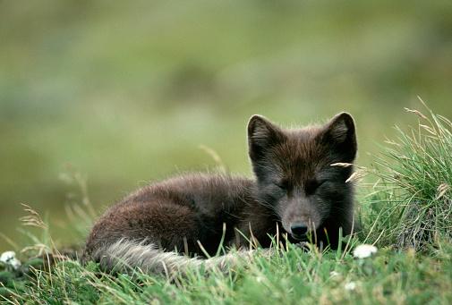 Arctic Fox「Arctic Fox Laying in the Grass」:スマホ壁紙(5)