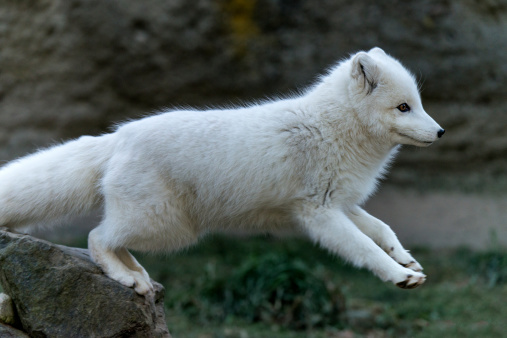 Arctic Fox「Arctic Fox white phase (vulpes lagopus)」:スマホ壁紙(9)