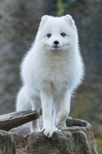 Arctic Fox「Arctic Fox white phase (vulpes lagopus)」:スマホ壁紙(2)