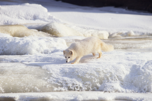 Animals Hunting「Arctic fox stalking , Canada」:スマホ壁紙(7)