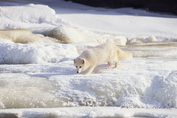 Arctic fox stalking , Canada:スマホ壁紙(壁紙.com)