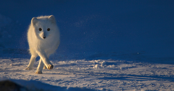 Arctic Fox「Arctic Fox (Alopex lagopus) running across snowy landscape」:スマホ壁紙(11)