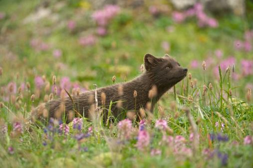 Arctic Fox「Arctic Fox (Alopex lagopus or Vulpes lagopus) summer coat, Alaska, USA」:スマホ壁紙(3)