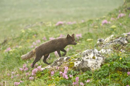 Arctic Fox「Arctic Fox (Alopex lagopus or Vulpes lagopus) summer coat, Alaska, USA」:スマホ壁紙(4)