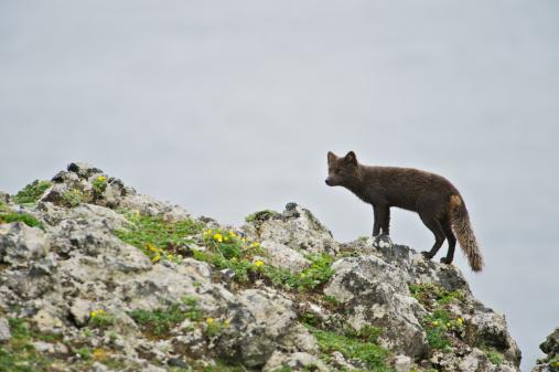 Arctic Fox「Arctic Fox (Alopex lagopus or Vulpes lagopus) summer coat, Alaska, USA」:スマホ壁紙(2)