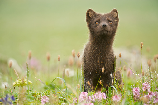 Arctic Fox「Arctic Fox (Alopex lagopus or Vulpes lagopus) summer coat, Alaska, USA」:スマホ壁紙(15)