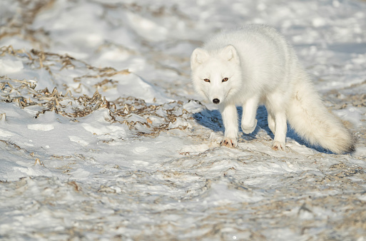 Arctic Fox「Arctic fox (Vulpes lagopus) walking in the snow」:スマホ壁紙(19)