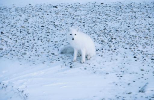 Arctic Fox「Arctic fox sitting on tundra」:スマホ壁紙(14)