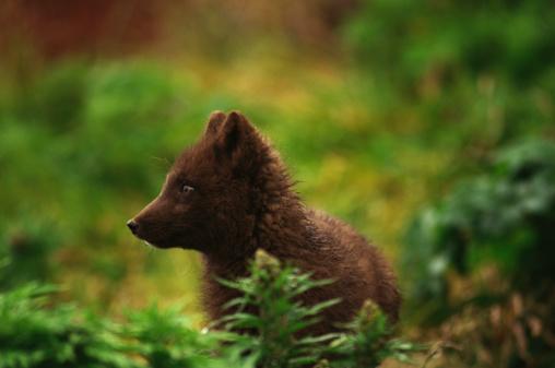Arctic Fox「Arctic fox」:スマホ壁紙(3)