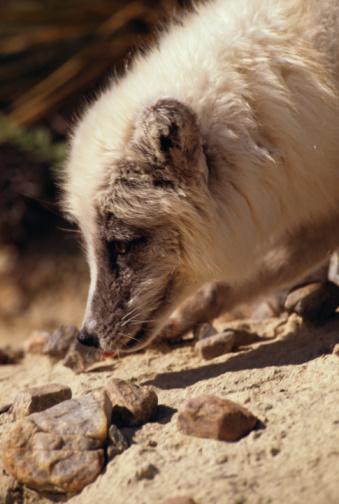 Arctic Fox「Arctic fox sniffing rocks」:スマホ壁紙(12)