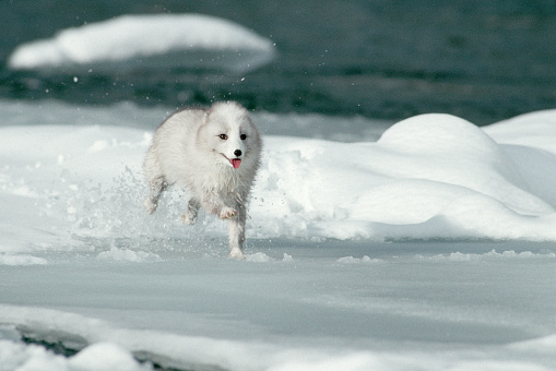 Arctic Fox「Arctic Fox Runs in Snow」:スマホ壁紙(19)
