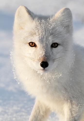 Arctic Fox「Arctic Fox.」:スマホ壁紙(2)
