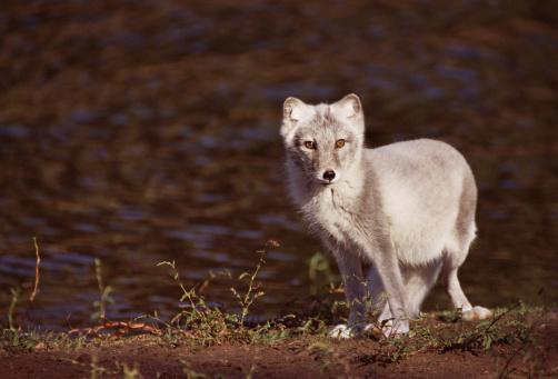 Arctic Fox「Arctic fox in wilderness」:スマホ壁紙(2)