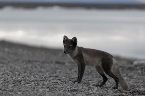 Arctic Fox「Arctic fox」:スマホ壁紙(17)