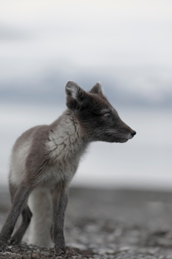 Arctic Fox「Arctic fox」:スマホ壁紙(15)