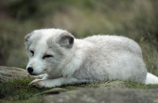 Arctic Fox「Arctic Fox」:スマホ壁紙(6)